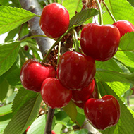Fall Autumn Fruits Cherries