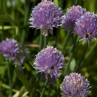 Spring Herbs Chives