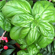 Summer Herb Basil