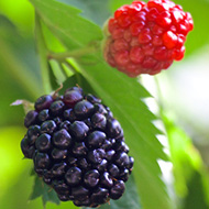 Summer Fruits Blackerry